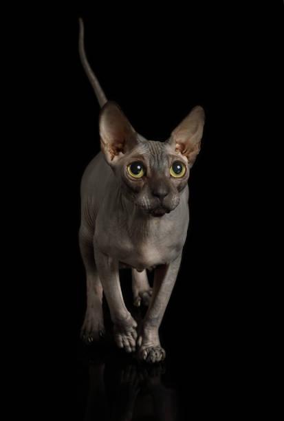 Vollblut haarlose kanadische Sphinx Katze im Studio – Foto