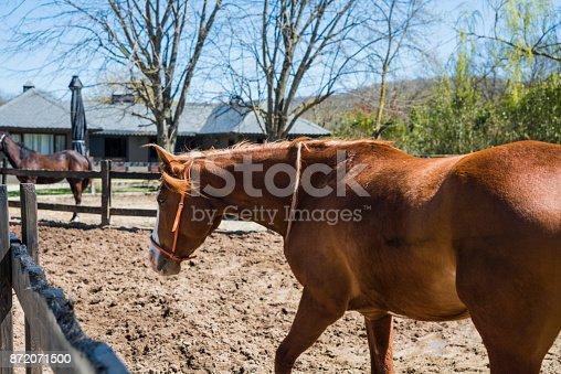 Thoroughbred Horse in Manege