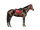 thoroughbred horse isolated on white background