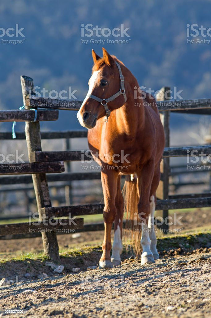 Thoroughbred horse looking over wooden corral fence stock photo