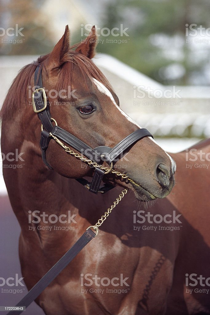 Thoroughbred Horse royalty-free stock photo