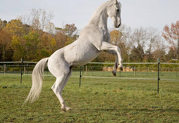 Thoroughbred Horse stock photo