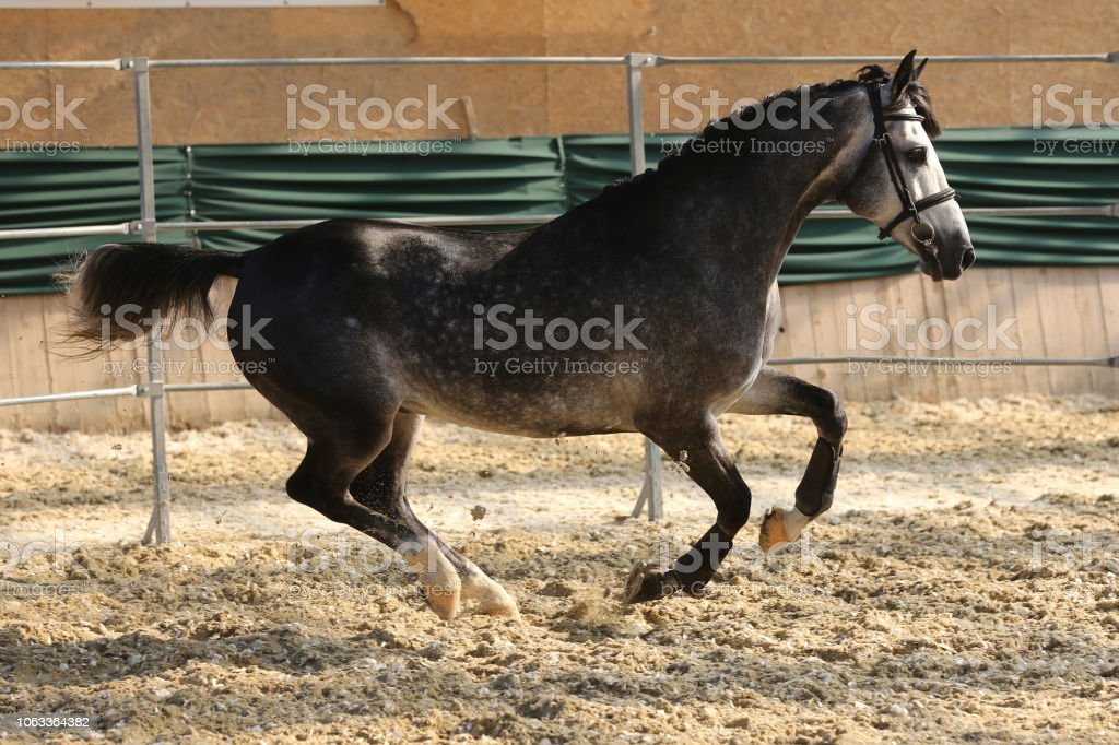 Thoroughbred Horse Running Free Without Rider In The Riding Hall Stock Photo Download Image Now Istock