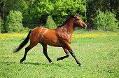istock Thoroughbred horse stallion runs 656646136