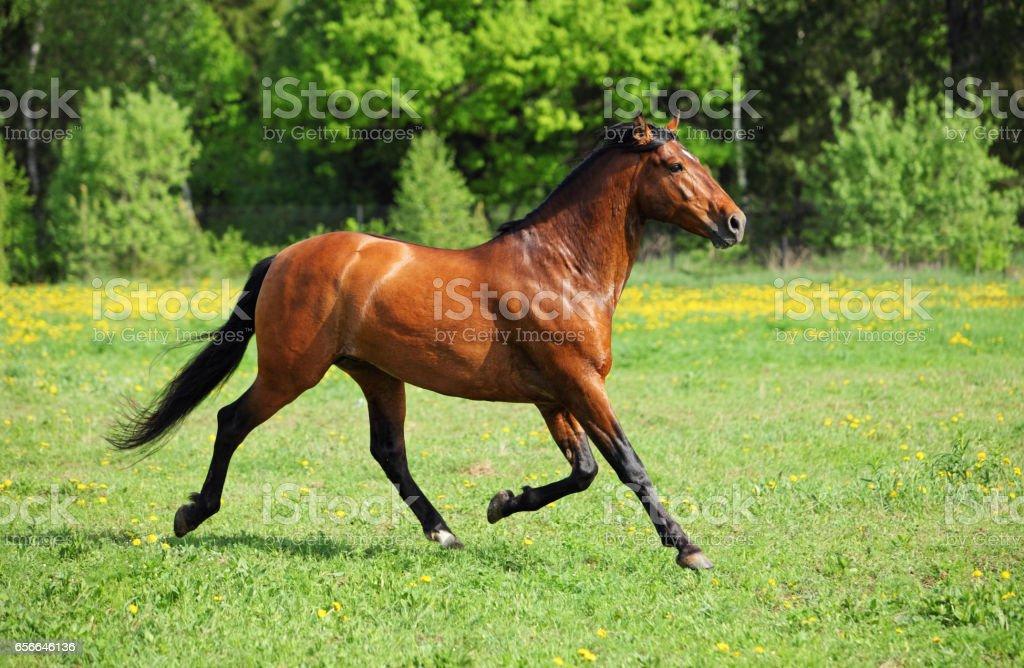 Thoroughbred horse stallion runs stock photo