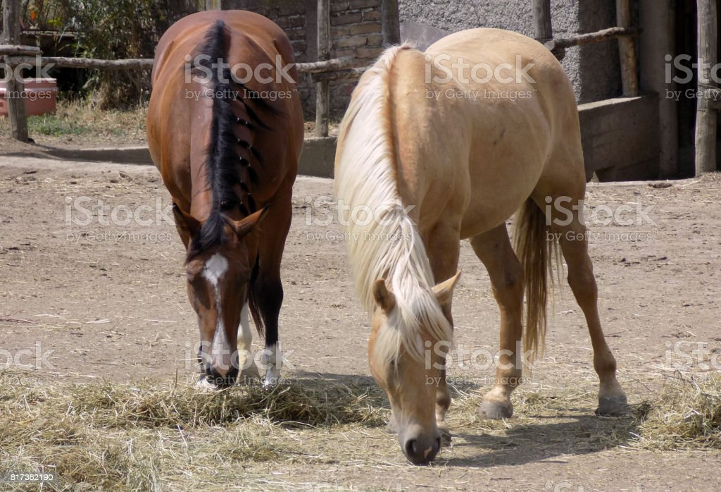 Thoroughbred horse with hiccups in the herd stock photo