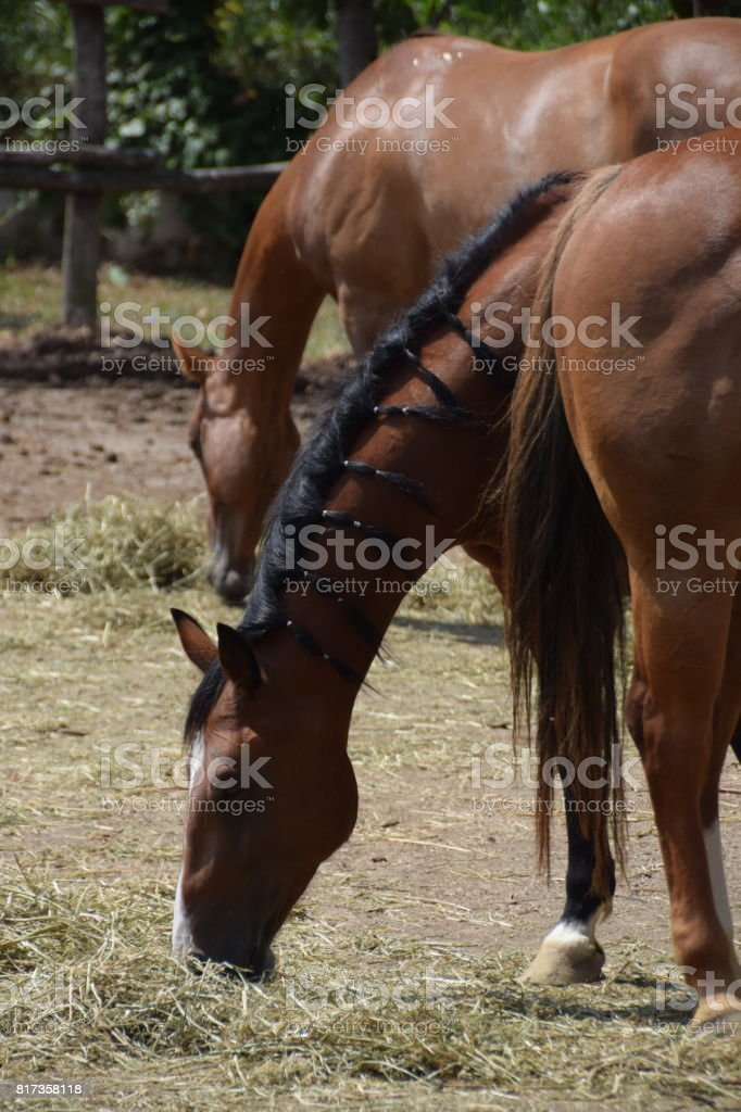 Thoroughbred horse with hiccups on the beautiful black mane stock photo