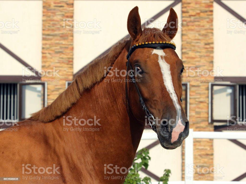 Thoroughbred race horse portrait stock photo