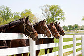 Thoroughbred Racehorses in Kentucky