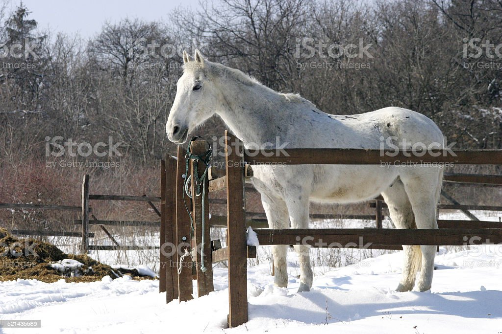 Thoroughbred white horse in winter corral stock photo