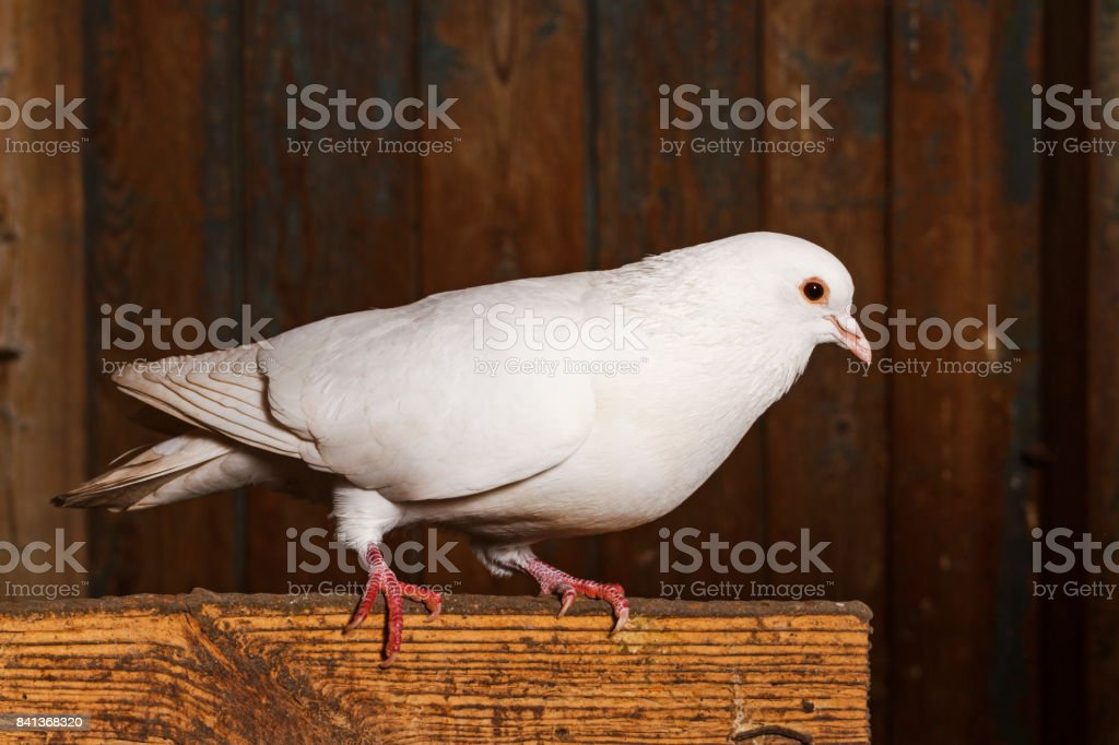 Thoroughbred white pigeon sits on a board stock photo