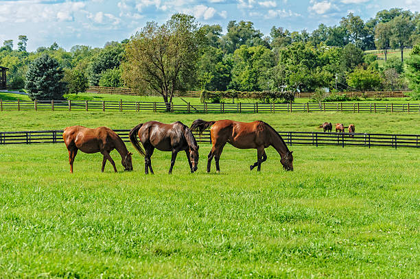 thoroughbreds - horse stock pictures, royalty-free photos & images