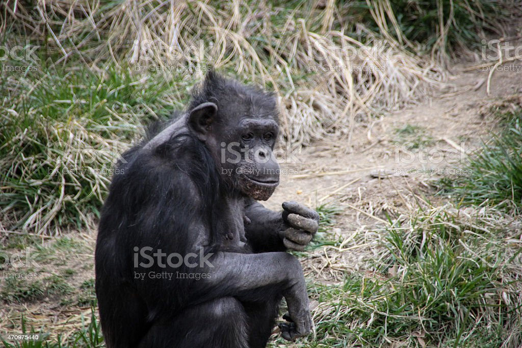 Thoughtful Ape stock photo