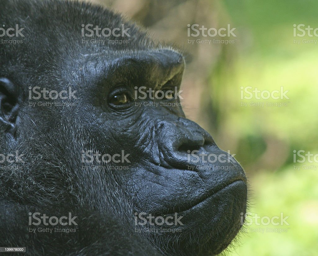 Thoughtful gorilla stock photo
