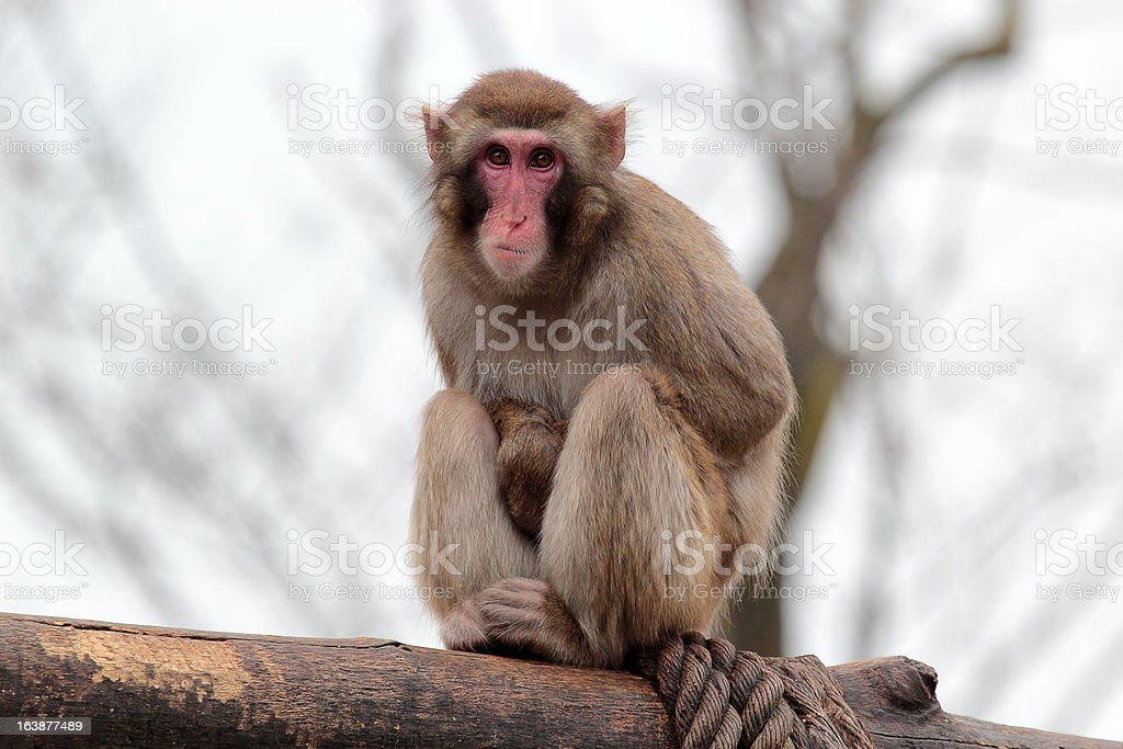 Thoughtful japanese macaque sitting on a log royalty-free stock photo