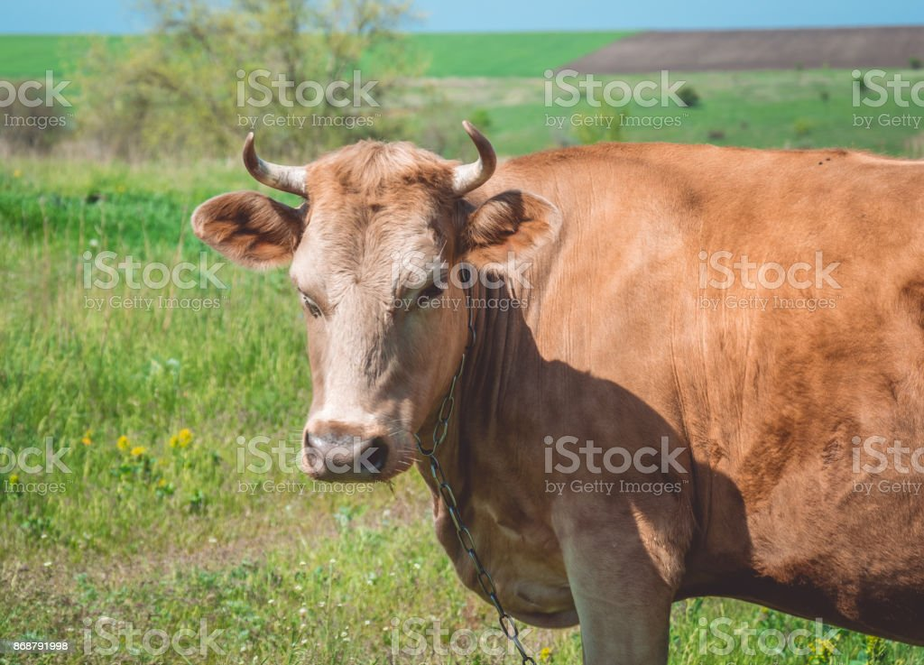 Thoughtful red cow in a bright spring meadow stock photo