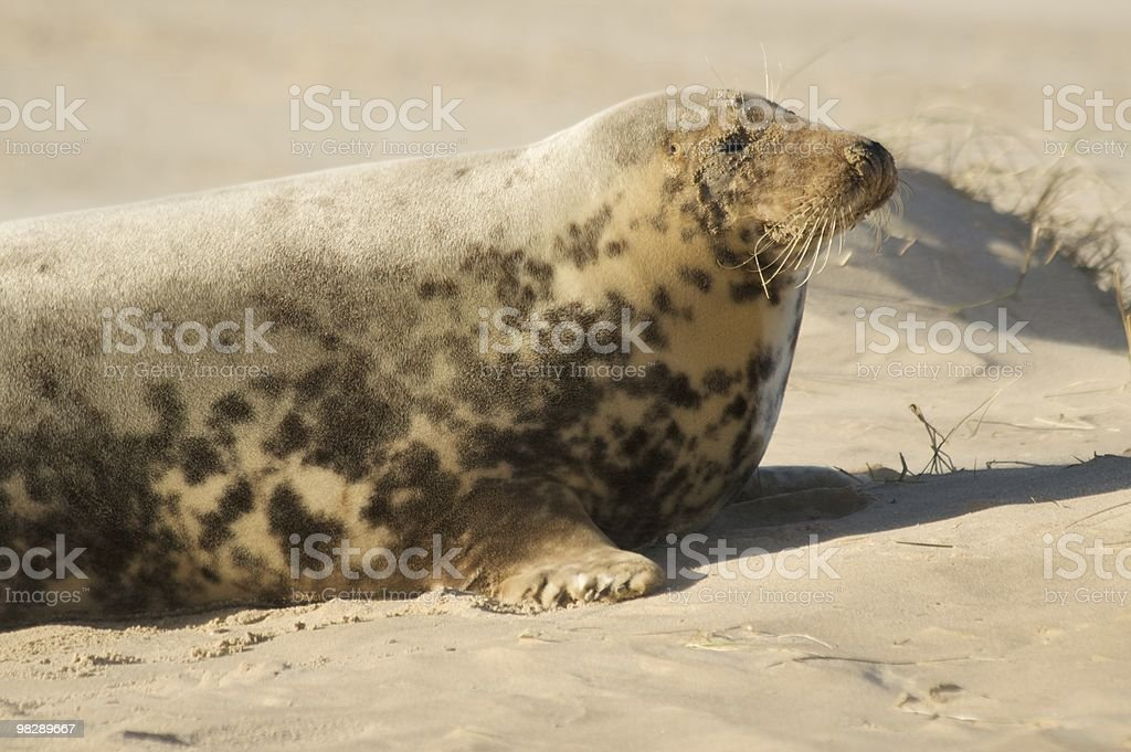 Thoughtful seal at Blakeney Point royalty-free stock photo