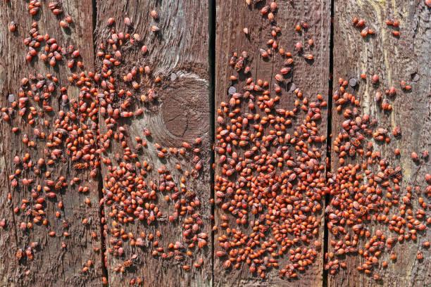 Tausend rote Fehler (im Volksmund als der Soldat Fehler) sind in der Sommersonne auf alten Holzzaun Aalen. Panorama Collage aus mehreren outdoor Closeup Fotos – Foto