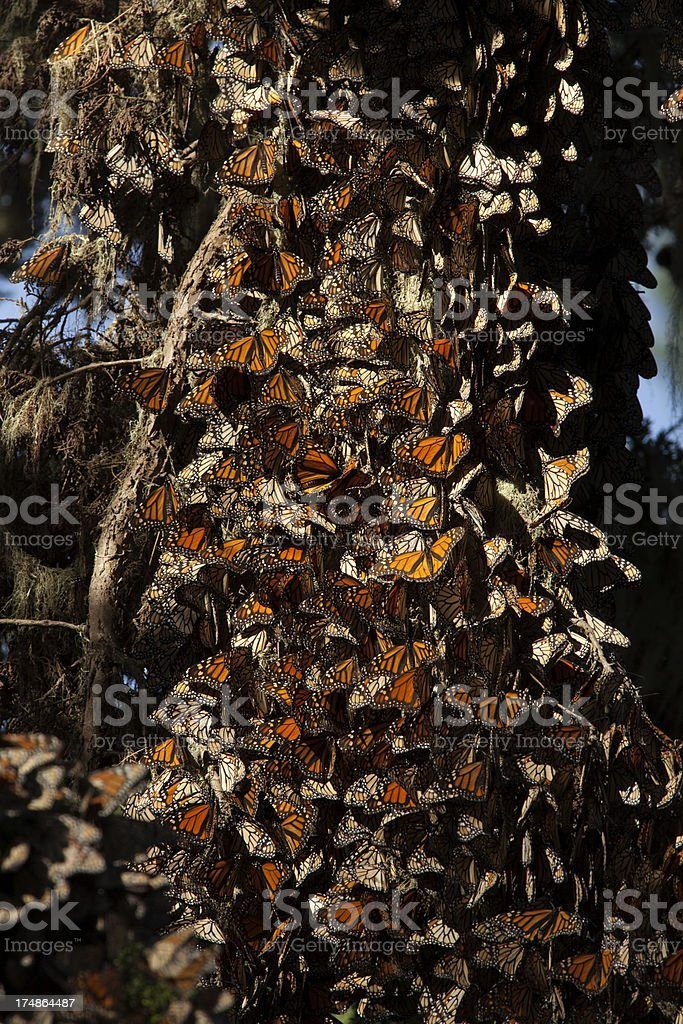 Thousands migrating Monarch butterflies California royalty-free stock photo
