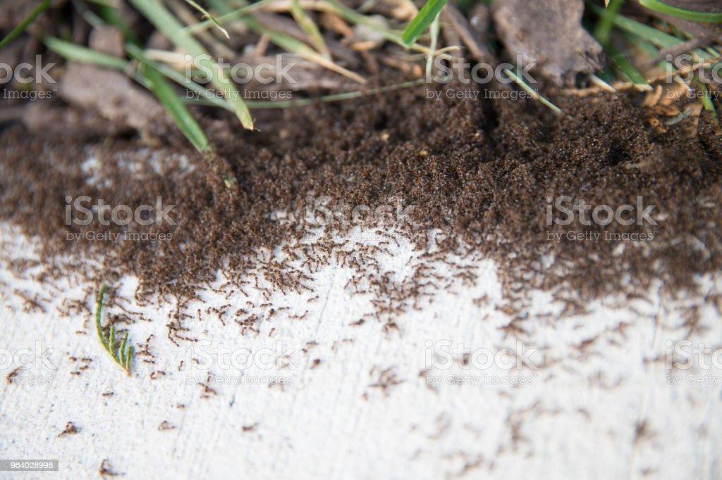 thousands of black ants on stony ground close up - Royalty-free Animal Stock Photo