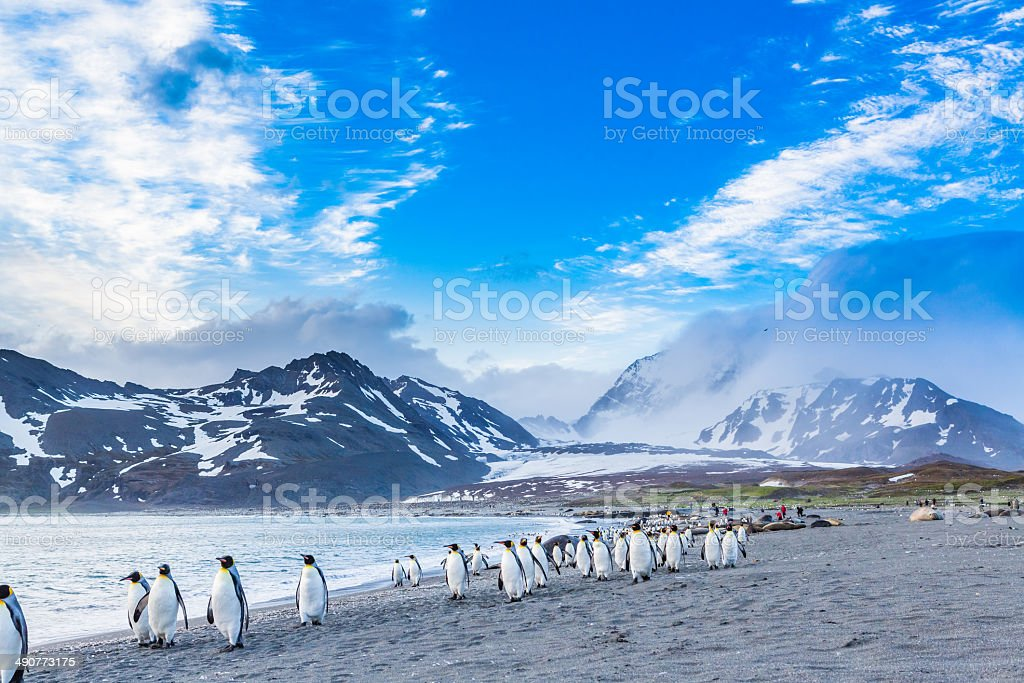 Thousands of King Penguins run from katabatic winds stock photo