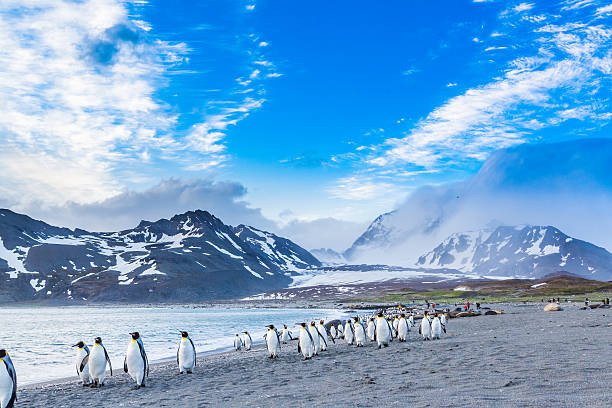Thousands of King Penguins run from katabatic winds Thousands of King Penguins march for cover of the oncoming katabatic winds south georgia island stock pictures, royalty-free photos & images