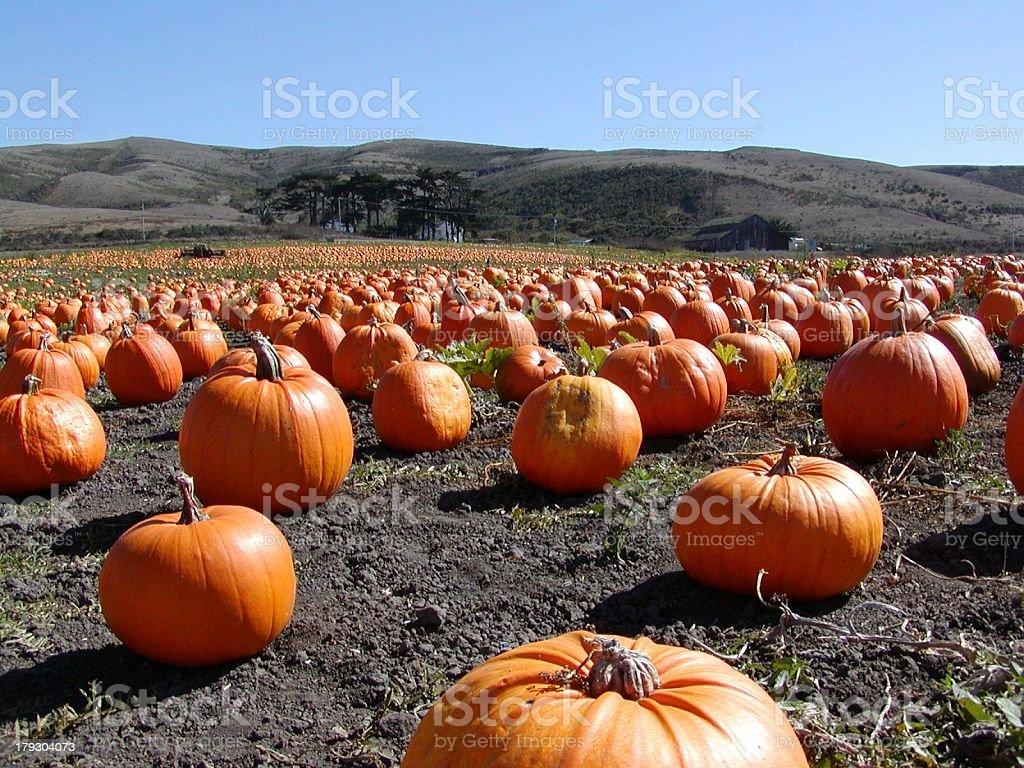 Thousands of Pumpkins stock photo
