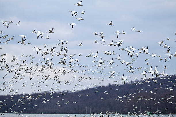 Thousands of Snow Geese Thousands of Snow Geese at the Middle Creek Wildlife Management Area in Lancaster County, Pennsylvania, USA.  snow goose stock pictures, royalty-free photos & images