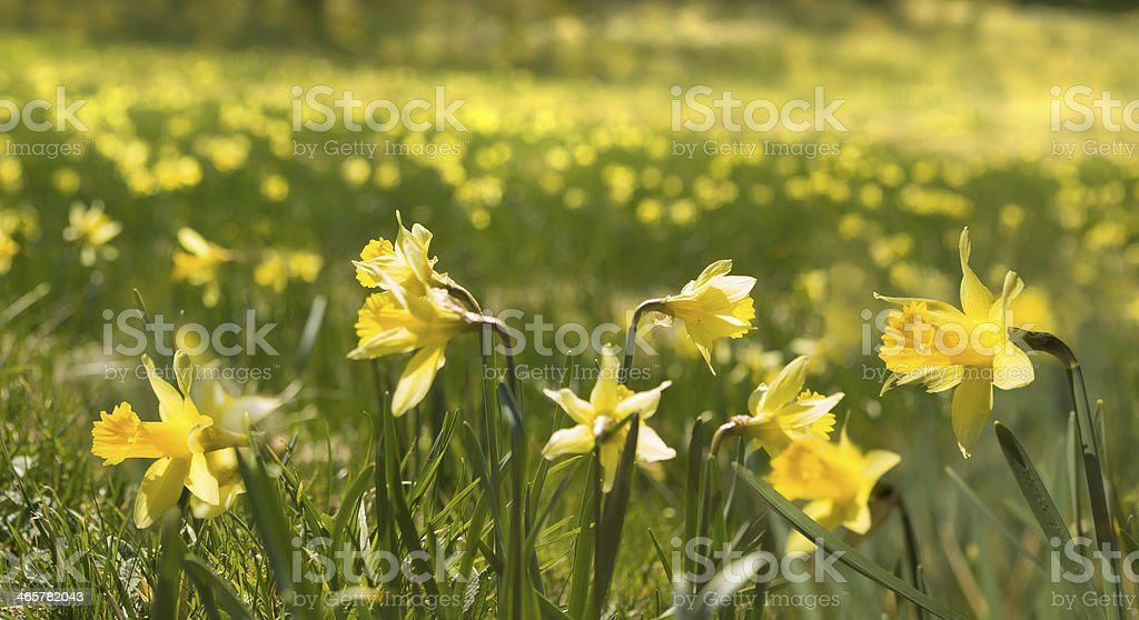 Thousands of wild daffodials royalty-free stock photo