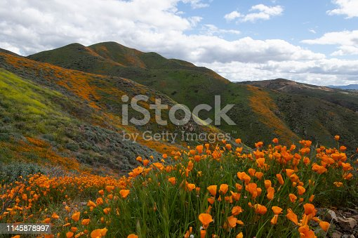 California golden poppy flowers with many wildflowers in background