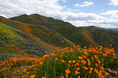 Purple Lupine And California Golden Poppies Fill A Meadow In Front Of A Green Hillside Covered With Oaks In