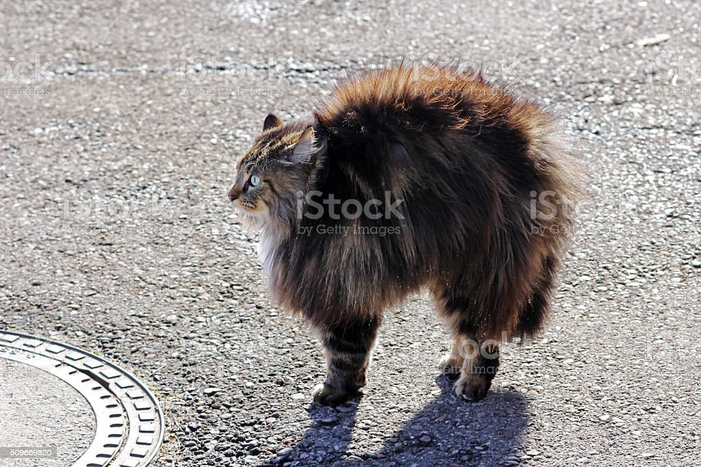 threat of cat makes a hump stock photo