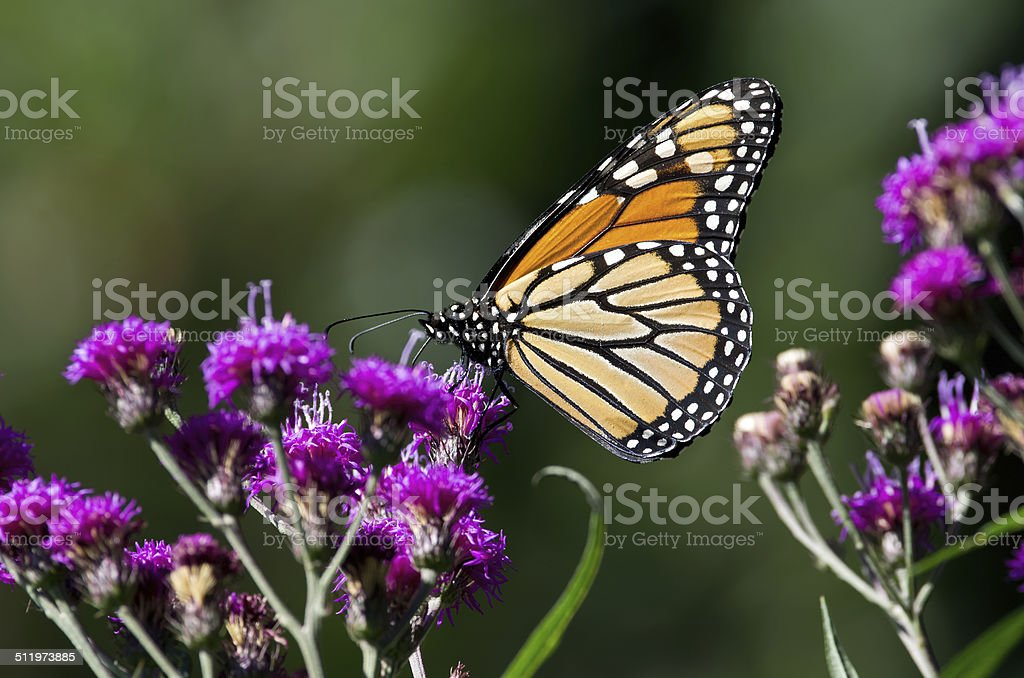 Threatened Monarch Butterfly stock photo