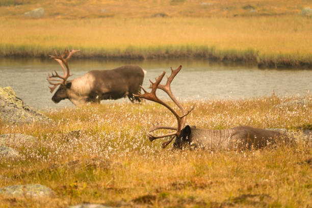Relaxing in the meadows, a pair of big, male, woodland caribou, part of the southern mountain herd enjoy the breeze of the lake.