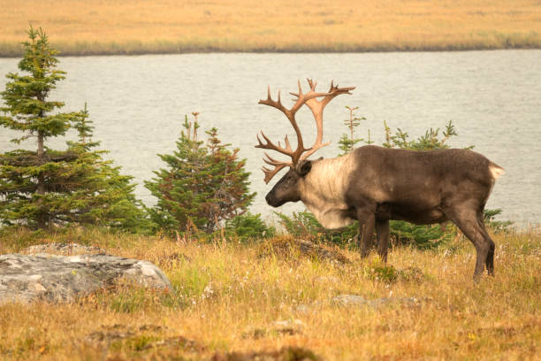 August 6-8, 2017 trip - With their population under threat, a magnificent woodland caribou with huge antlers enjoys the cool breeze by the lake in Alberta's Jasper National Park.