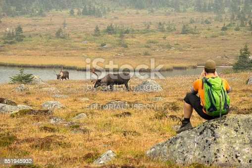 While a hiker watches, threatened male bull mountain caribou with large branching antlers graze alpine meadows as smoke from British Columbia fires fills the air of the Tonquin Valley in Jasper National Park, Alberta, Canada.