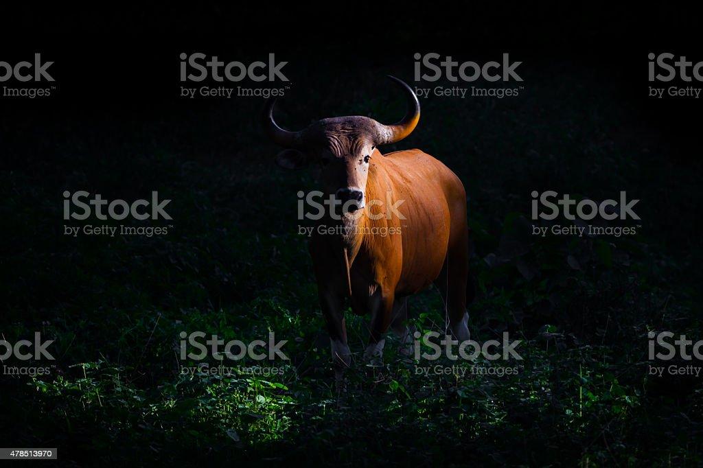Threatened Species full adult Female Banteng stock photo
