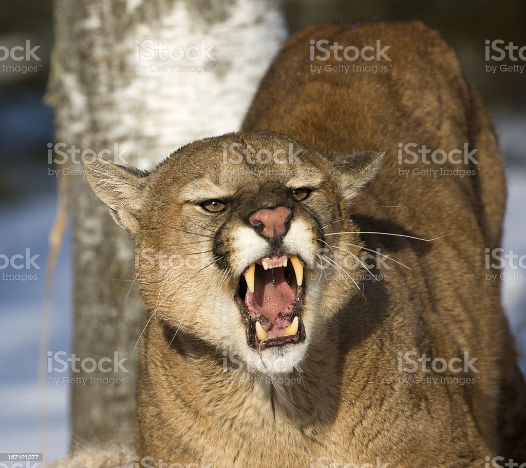 Threatening and powerful mountain lion. stock photo
