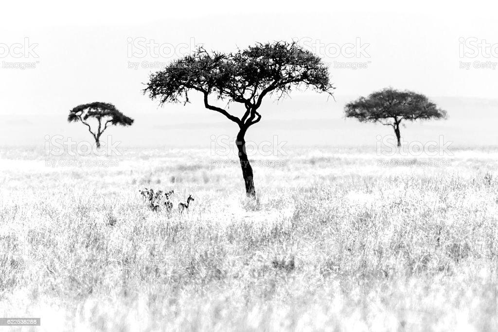 Three Acacia Trees stock photo