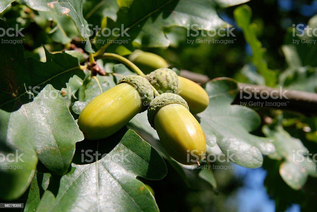 three acorns on the tree royalty-free stock photo