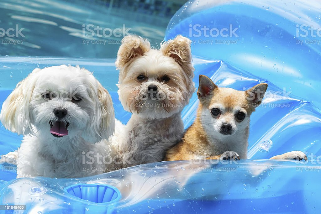 Popular Chihuahua Canine Adorable Dog - three-adorable-dogs-floating-in-the-pool-picture-id181849400  Image_2661  .com/photos/three-adorable-dogs-floating-in-the-pool-picture-id181849400
