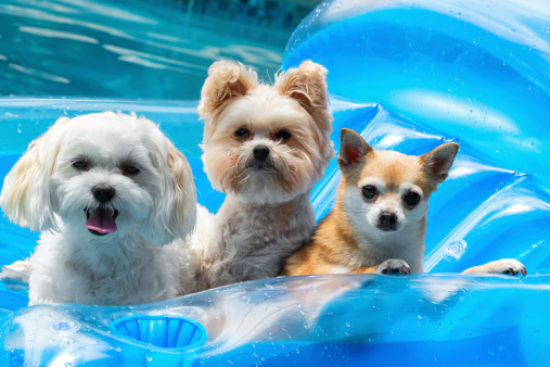 Three small dogs on a float in a pool.RM.  rrDogs & Puppies