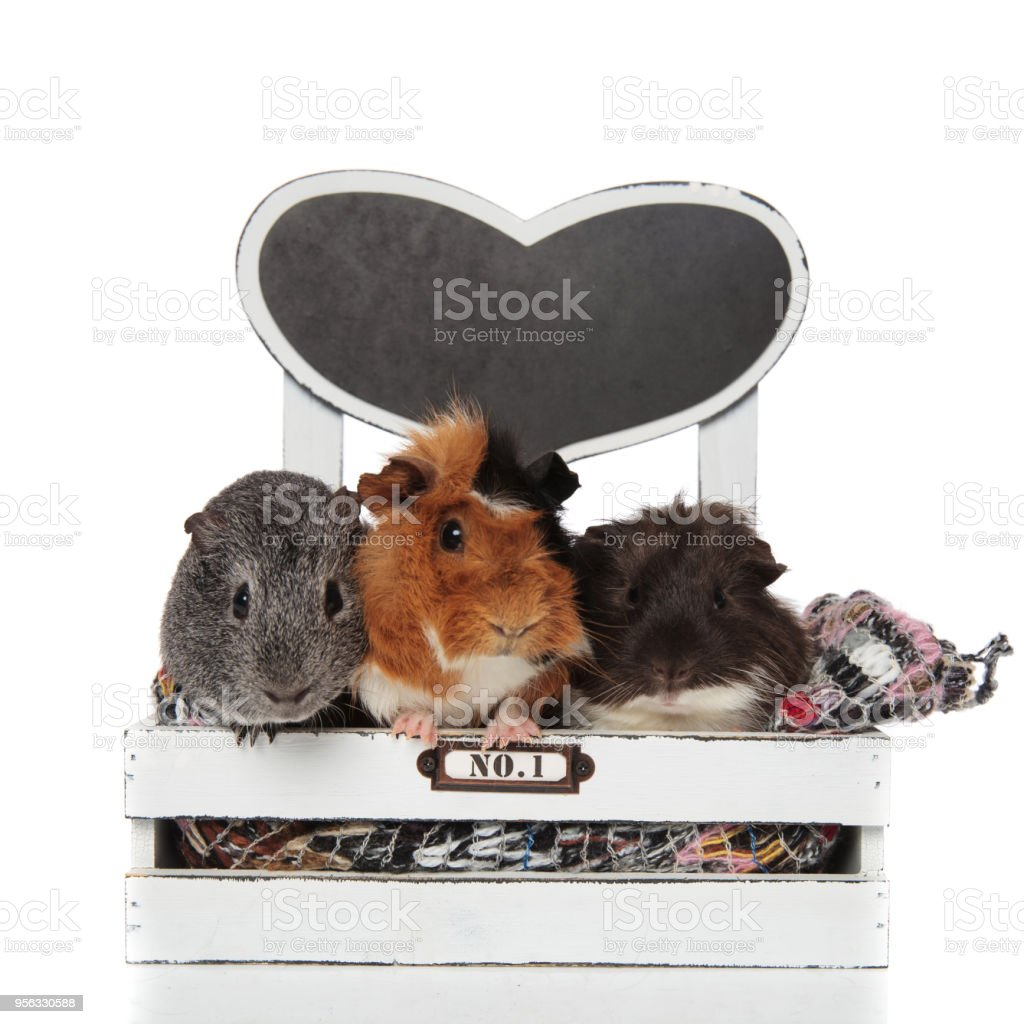 three adorable guinea pig friends chilling in bed stock photo