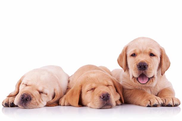 Three adorable labrador retriever puppy dogs picture id481558803?b=1&k=6&m=481558803&s=612x612&w=0&h=hbgzuq1zsevb sfzj1sx37eyn8 lnugsw4tdycq6bt8=