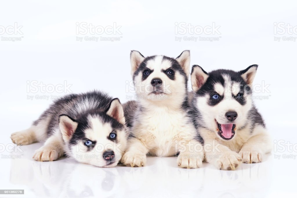 Three adorable Siberian Husky puppies lying down and posing together on a white background stock photo