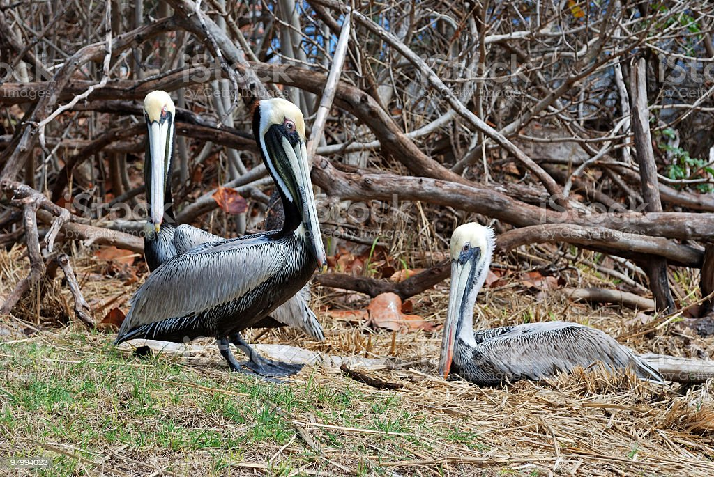 Three Adult Brown Pelican (Pelecanus occidentalis) Rest Among Driftwood royalty-free stock photo