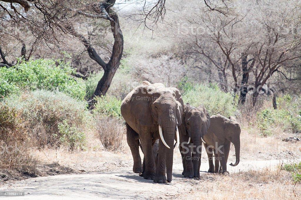 Three African elephant family members walking in Tanzania stock photo