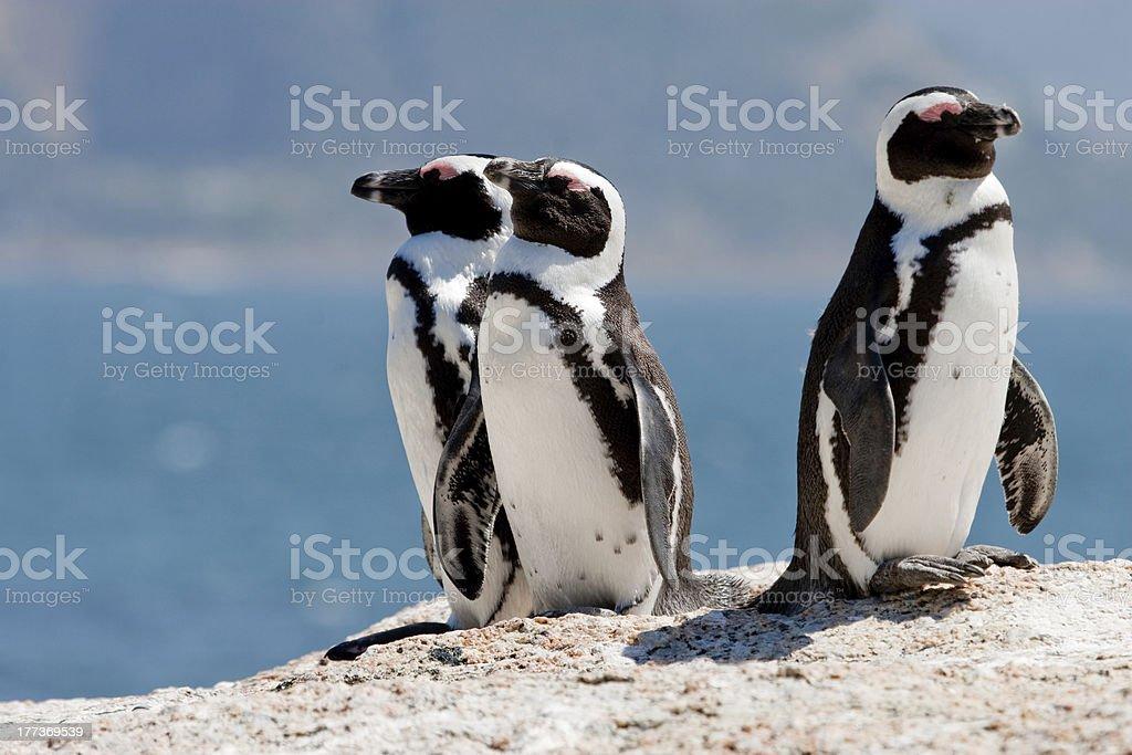Three African (Jackass) Penguins stock photo