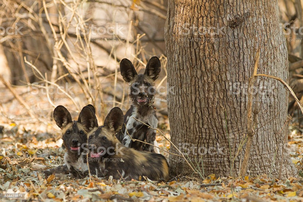 Three African Wild Dog puppies looking at the camera stock photo