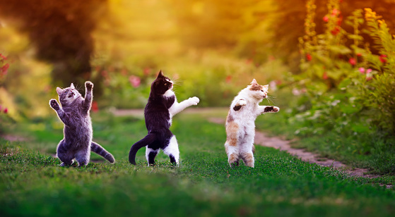 three agile cats in the summer in a sunny meadow they play on the green grass and stand funny dancing on their hind legs on the grass